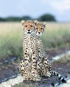 Photo by Kalahari Duo l photographed these two very curious young cheetahs in the Kalahari. I Love Cats, Big Cats, Cats And Kittens, Cute Cats, Pretty Cats, Beautiful Cats, Animals Beautiful, Animals And Pets, Baby Animals