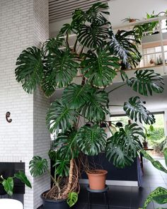 If you have the space, let your monstera take over! As soon as I ordered my first real houseplants — two monstera deliciosa plants named Mandrake and Gilly — from the newbie-friendly plant delivery Big Indoor Plants, Outdoor Plants, Indoor Garden, Indoor Flowers, Big Plants, Green Plants, Hanging Plants, Monstera Deliciosa, Interior Garden