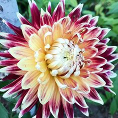 I might have a new favorite dahlia... her name is 'akita' from eden bros. @edenbrothers