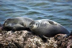 Байкальская нерпа (байкальский тюлень, Pusa sibirica) - эндемик озера Байкал