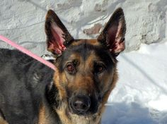 SAFE --- URGENT - Manhattan Center    WYNONA - A0990023   FEMALE, BLACK / TAN, GERM SHEPHERD MIX, 4 yrs  STRAY - STRAY WAIT, NO HOLD Reason STRAY   Intake condition NONE Intake Date 01/21/2014, From NY 10467, DueOut Date 01/24/2014 Main thread: https://www.facebook.com/photo.php?fbid=746051622074386&set=a.617938651552351.1073741868.152876678058553&type=3&permPage=1