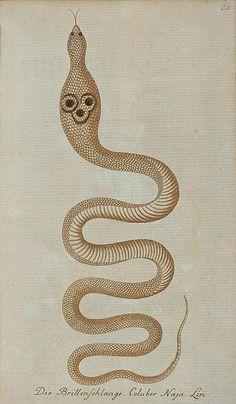 Dahl's Whip Snake - The images (background cleaned) are taken from the multi-volume natural history work, 'Getreue Abbildungen Naturhistorischer Gegenstände' (1795-1807), by Johann Matthäus Bechstein.  via peacay
