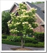 Here Is A Look Into What Might Be Good For A Smaller Yard. These Trees