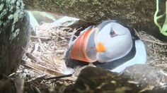 Puffin... click through for live streaming video.