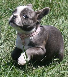 French Bulldogs Puppies for Sale http://www.worldoffrenchies.com/females/