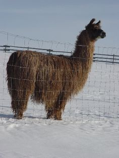 Alberta CA Llama Stud Service Males For Sale Champion Bloodlines Show Prospects Llama Alpaca, Alpacas, Carrie, Fire, Pictures, Pandas, Photos, Drawings