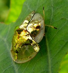 It is one of the most striking insects. The golden tortoise beetle is a stunning, vibrant metallic gold color. It has a magical quality, not only because of the brilliance of its color, but also because the brilliance isn't permanent. Metriona can alter color within a short time period, turning from brilliant gold to a dull, spotty reddish color