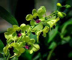 zöld-lila orchidea fürt
