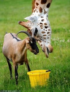 Giraffe and goat form unlikely friendship when kept in same enclosure