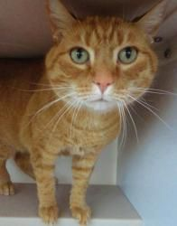 Tasha is an orange tabby cat.  She is 4 years old and spayed.  She has a spunky attitude but loves to be rubbed on.    http://www.petfinder.com/petdetail/23262687#