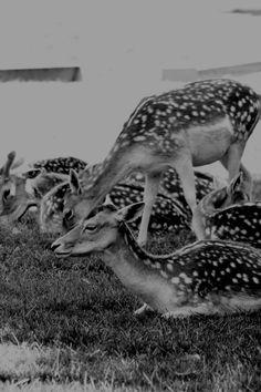 """Photographie noir et blanc """"les daims"""" Parc de la Tête d'or Lyon, juin 2015 : Photos par le-petit-bazar-des-trinomettes-en-delire"""