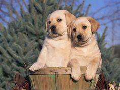 Golden Labrador Retriever Puppies,