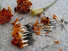 Method of Preserving Marigold Seeds