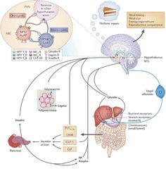 The arcuate nucleus of the hypothalamus is recognized as the brain's command center for controlling energy balance. Along with other brainstem and hypothalamic nuclei, the neurons of the arcuate nucleus coordinate energy intake and expenditure. To maintain the homeostasis neurons in these areas must integrate information from other regions of the brain as well as nutrient and hormonal signals from the periphery.