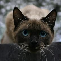 Thai Cat - My favorite breed of cat.  The apple heads like this one used to be called Siamese.