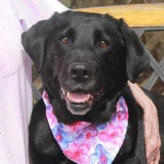 Belle is an adoptable Black Labrador Retriever searching for a forever family near Garfield Heights, OH. Use Petfinder to find adoptable pets in your area.