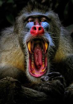 Male Mandrill Baboon