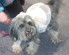 Is it a bird – is it a fairy – is it a therapist! No, it's Buddy the Super dog! 'Actually, I'm a princess' Psychiatric Mental Health Nursing, Lifetime Achievement Award, Fairy, Princess, Dogs, Pet Dogs, Doggies, Angel, Princesses