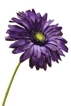 Image result for purple gerbera