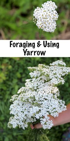 Foraging and Using Yarrow (achillea millefolium) ~ How to identify yarrow, a common wild weed, plus ways to use it medicinally to stop bleeding and treat fevers. Healing Herbs, Medicinal Plants, Natural Healing, Yarrow Plant, Achillea Millefolium, Edible Wild Plants, Herbs For Health, Wild Edibles, Growing Herbs