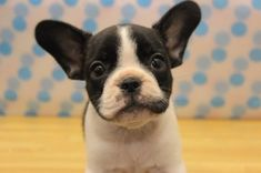 Oreo, my french bulldog puppy. I saw this photo online and fell in love with him in a flash...