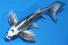 Matsuba Butterfly from Koibay Reptiles, Koi Fish Colors, Butterfly Koi, Otters Cute, Carpe Koi, Koi Fish Tattoo, Cute Fish, Japanese Koi, Koi Carp
