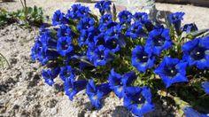 Ja so blau blau blau blüht der Enzian... hier bei uns im Erzgebirge.