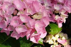 Hydrangea Petals -Nancy Aurand-Humpf