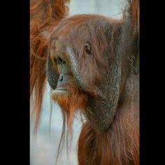 Orangutan @ Ohio Zoo