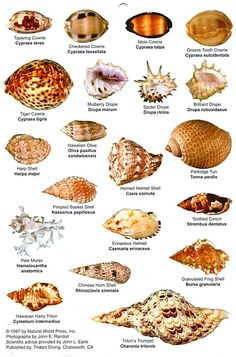 Resultado de imagen de Shell Identification Chart pacific coast