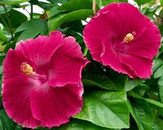 Exotic Hibiscus 'Scarlet Beauty'
