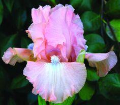 SDB 'Pinkster' (Sutton, 2008) | Sutton's Iris Gardens