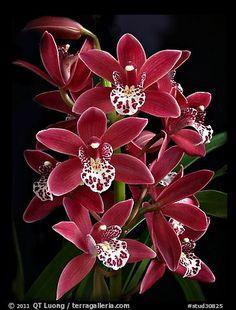 Pipeta Cymbidium | Cymbidium Pipeta 'Royal Gem'. A hybrid orchid (color)