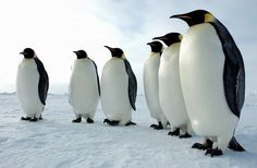 Emperor penguins in Antarctica create a picture perfect line for the camera. Emperor penguins are the largest of all penguins, with some . Mr Popper's Penguins, March Of The Penguins, All About Penguins, Emperor Penguins, Artic Animals, Penguin Animals, Small Animals, Small Birds, Penguin Love