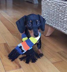 - #dachshunds #dachshundlove #dachshundpuppy