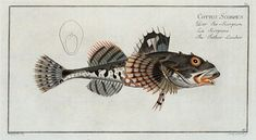 Cottus Scorpius, The Father Lascher. (1785-1797)