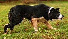 Working sheepdog Glen