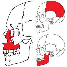 Tarjetas de nomenclatura Montessori de los huesos del cráneo
