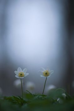 Anemone by Rikard  Olsson on 500px