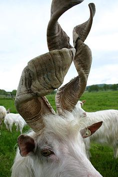 goat. Now look at those horns! I've never seen anything like that before!