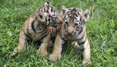FOTOS: los tiernos animales bebes que buscan sobrevivir a la extinción de su especie