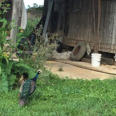 Just a random #peacock living in an old tire nothing to see... Read more at: http://ift.tt/2brs5zK adventures adventure life