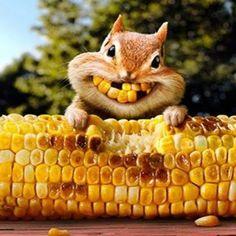 This little guy is soooooo cute! BUT - he got to the corn before I did! Tee-heee... looking forward to a fresh pot soon! (-_-)