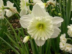 Narcissus 'Mount Hood' http://lefotodiluisella.blogspot.it/