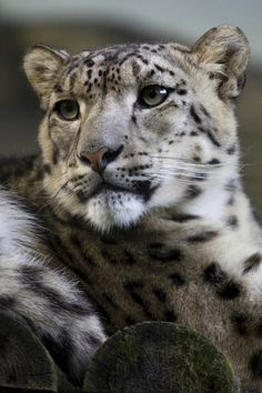 Snow leopard by ~Jay-Co