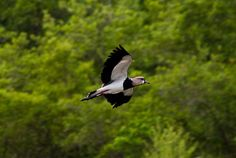 quero-quero (Vanellus chilensis) por Evaldo HS Nascimento | Wiki Aves - A Enciclopédia das Aves do Brasil