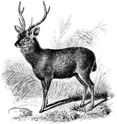Sambur Deer   ClipArt ETC