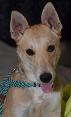 3/23/15 SL ~~Haven German Shepherd Dog Husky Mix • Baby • Male • Small Canyon Lake Animal Shelter Society Canyon Lake, TX