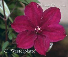 Clematis 'Westerplatte'