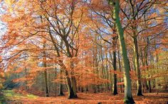 Maria Fitzpatrick asks some well-known forest lovers such as Bill Oddie and John Craven the best place to go for a stroll to celebrate British Tree Week . Sherwood Forest, New Forest, The Great Outdoors, The Good Place, Britain, Woodland, Places To Go, Country Roads, Landscape